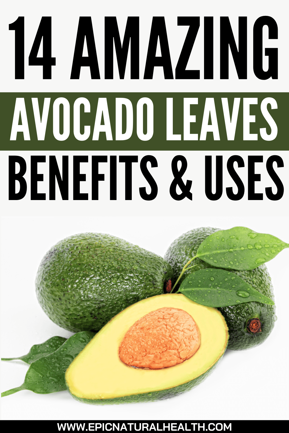 14 Amazing Avocado Leaves Benefits and Uses