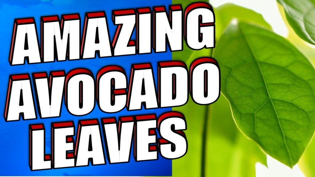 Amazing Avocado Leaves