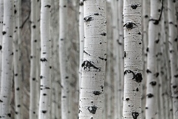 Birch barks are used for their antibacterial properties