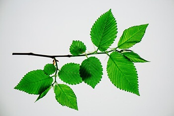 Elm is most commonly used to soothe the digestive tract