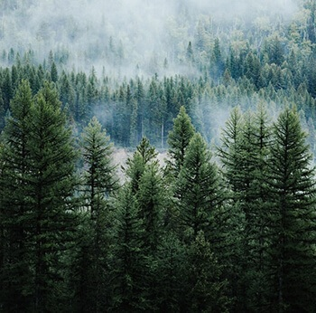 Pine has antiseptic properties that are used as natural wound wash