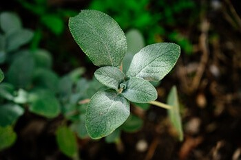 Sage helps in eliminating excess skin oils and preventing sweating