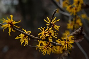 Witch hazel is known for its astringent and antiperspirant properties