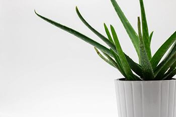 aloe vera plant is one of the best natural plants for all number of health purposes