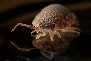 Bed bugs are human parasites