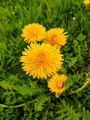 Dandelion can prevent extra fluid to build up in your blood vessels