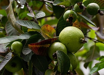 Guava leaves for dandruff issues