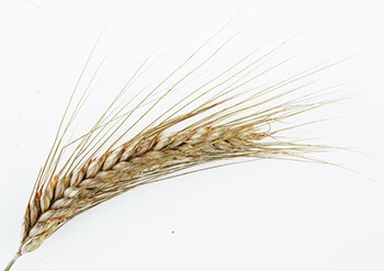 wheat allergies refer to an allergic reaction to wheat protein