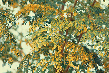 moringa tree extracts can help support a healthy thyroid